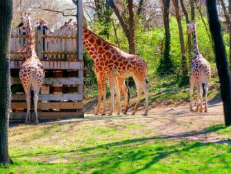 纽约布朗克斯动物园 - 长颈鹿