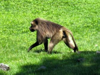 纽约布朗克斯动物园 - 猴子