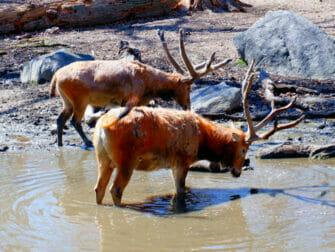 纽约布朗克斯动物园 - 饮水的动物